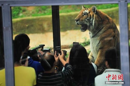 云南野生动物园建玻璃通道 游客近距离看猛兽
