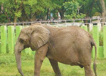 动物园大象用鼻子抛石头
