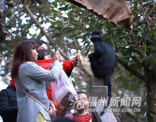 """福州动物园一只黑叶猴""""越狱"""" 当众卖萌_社会_福建网络"""