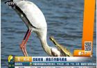 惊险时刻:鳄鱼巧夺鹳鸟美食
