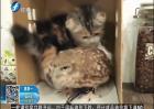 小猫和猫头鹰形影不离成好友