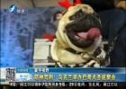 乌克兰举办巴哥犬圣诞聚会