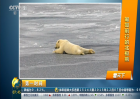 萌出新高度!匍匐前行的北极熊