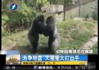 为争地盘 大猩猩大打出手