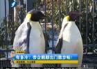 南京有多冷?帝企鹅都出门散步啦
