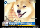 柴犬萌笑容迷倒网友 爆红网络