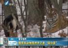 俄动物园虎羊兄弟