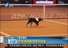 巴西网球赛 狗狗当球童