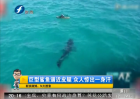 巨型鲨鱼逼近皮艇 众人惊出一身汗