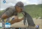 暖心!小企鹅每年游8000公里看望恩人