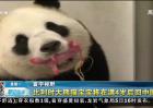 比利时大熊猫宝宝将在满4岁后回中国