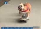 这只小狗不一般 会玩滑板会英文