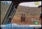 游客拍照 惹怒犀牛猛冲撞车