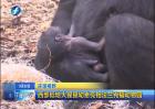 西部低地大猩猩幼崽亮相法兰克福动物园