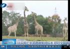 11只死亡长颈鹿被制成标本 呼吁文明游园