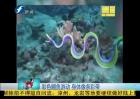 彩色鳗鱼游动 身体像条彩带