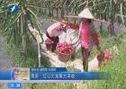 南安:红心火龙果大丰收