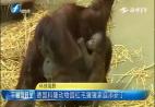 德国科隆动物园红毛猩猩家庭添新丁