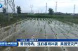 莆田秀屿:连日暴雨冲袭 果园受灾严重