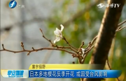 日本多地樱花反季开花 或因受台风影响