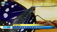日本大紫蛱蝶首次在欧洲繁育后代