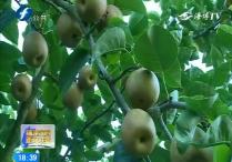 连城:有机翠冠梨获丰收