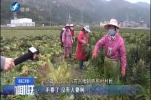 长乐:千亩莴笋滞销 村民损失惨重