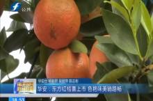 华安:东方红桔喜上市 色艳味美销路畅