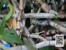 《风物福建》仙草爬上海枣树