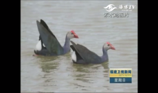 关注珍稀鸟类紫水鸡