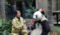 """大熊猫""""巴斯"""":和平使者的象征"""