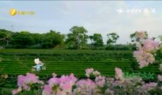 《福建茶文化》第十一集《一片茶叶,两岸情缘》