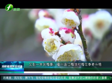 《清新福建旅游报道》福州连江海洋村梅花争奇斗艳