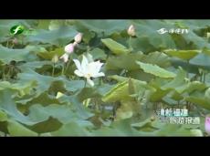 《清新福建旅游报道》莆田:荷花竞放游人醉