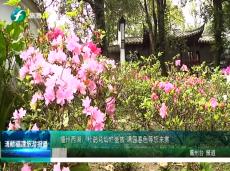 《清新福建旅游报道》福州西湖杜鹃花灿烂盛放
