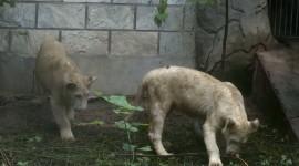 泥垢了!白狮变黑狮