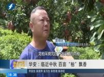 """华安:临近中秋 百亩""""柚""""飘香"""