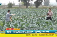 石狮:新品西兰花验收测产  亩产达5800斤