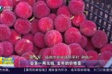 福鼎:杨梅丰收 产值达1500万元