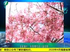 《清新福建文旅报道》龙岩:粉色樱花进入盛花期