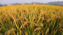 w88优德易博网评级5个粮食生产示范市县各获省级补助50万元