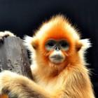 山中的精灵——金丝猴