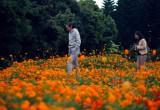 3500平方米硫华菊正盛开 走,闽江公园南园赏花去