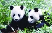 大熊猫团团圆圆一家在台北过大年