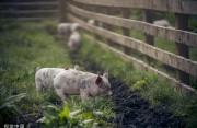 国家统计局:生猪生产逐步恢复,三季度末生猪存栏同比增二成