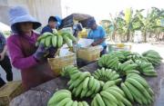 民进党当局鼓动台湾民众多吃凤梨,结果让香蕉价格崩盘?