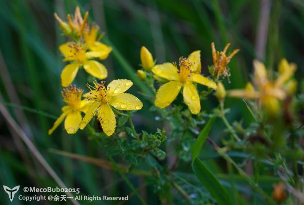 芒种花,栽秧花等俗名也描述了物种开花的季节