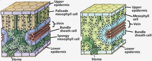 虽然亲缘关系很近,但是C3植物(左)与C4植物(右)的解剖结构差别很大。图片:oregonstate.edu 水稻、小麦这样的C3作物通过常规育种手段已经快要达到它们能力的上限,产量增加的空间已经不多了。如果想让它们的产量在未来再有大提升,非得深入基因组、从根本上改造它们的体格不可。育种学家因此设想,是否可以把C4植物的光合作用相关基因转到水稻、小麦体内,代替它们的C3基因呢?这样一来,它们的光合效率会更高,而且也能耐受高温和干旱,不仅产量会进一步增长,而且可以种到更多的条件不好的田地里。 或许就