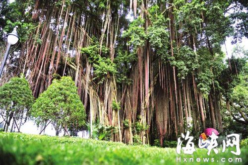 古榕的气根都长达四五米,如同《阿凡达》中的生命之树