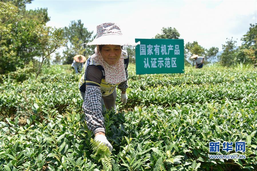 (经济)(2)福建泉州:严格质量监管 促进茶叶出口